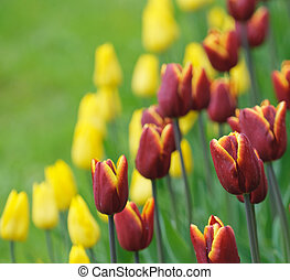 zeer, ondiep, rood, tulpen, brandpunt