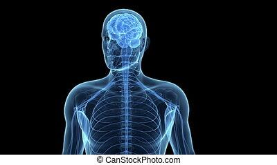 zenuwcellen, menselijke hersenen