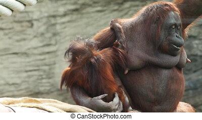 zetten, balken, kind, volwassene, orangutan, moeder