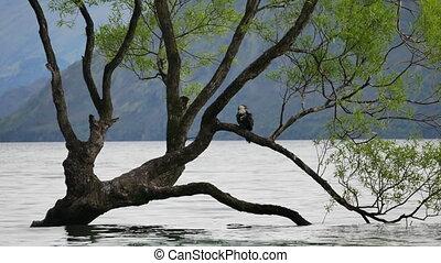 zetten, wanaka, boom., vogel
