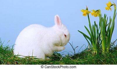 zijn, konijntje, schattig, krassen, witte , nos