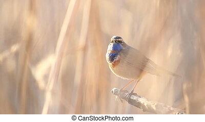 zingt, lente, wilde vogel, lied, mooi