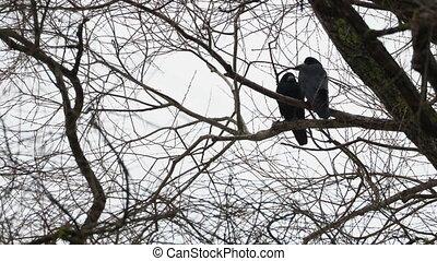 zittende , groot, boom., black , paar, ravens