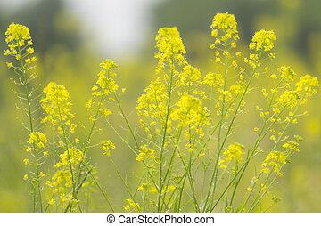 zomer, bloemen, geel veld