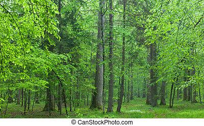 zomer, eiken, oud, bos, nevelig