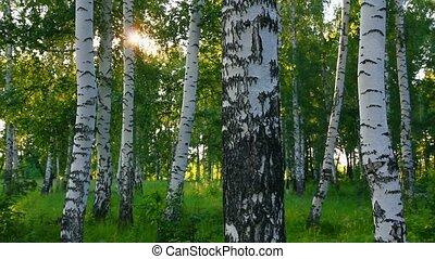 zomer, hout, rusland, berk