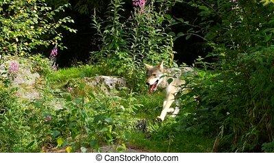 zomer, wolf