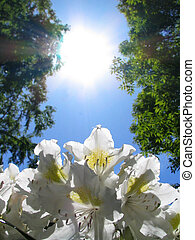 zon, rododendron, &