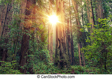 zonnig, redwood bos
