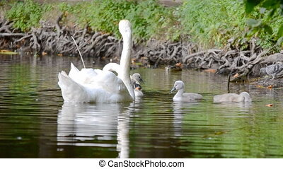 zwanen, meer, gezin