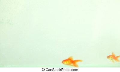 zwemmen, eten, goudvis