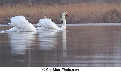 zwemmen, lente, twee, meer, witte , zwanen